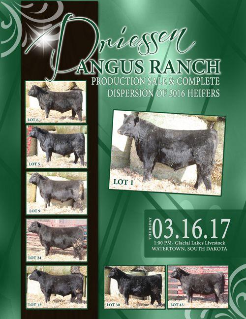 Driessen Angus Ranch Bull Sale