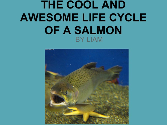 THE AWESOME LIFE  OF A SALMON