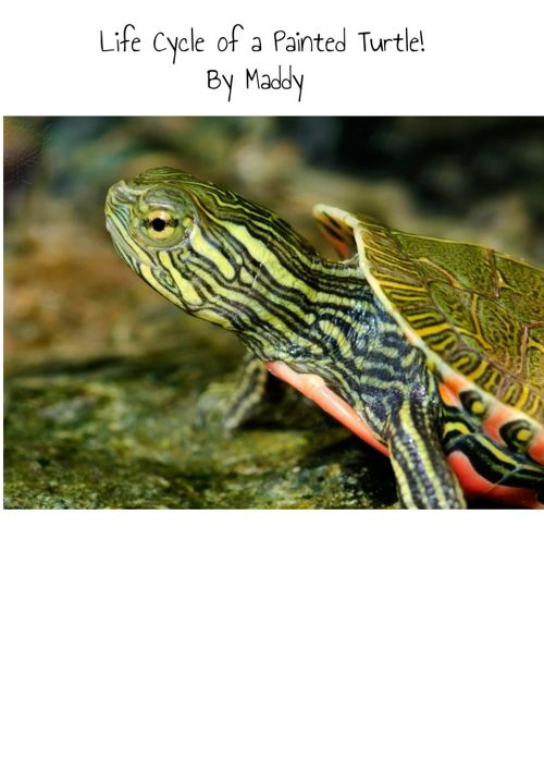 Life Cycle of a Painted Turtle