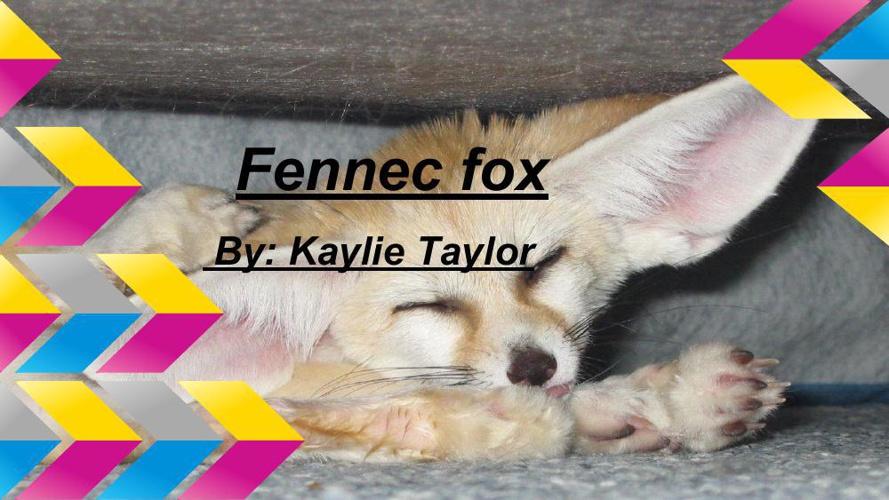 Fennec fox. by- Kaylie Taylor
