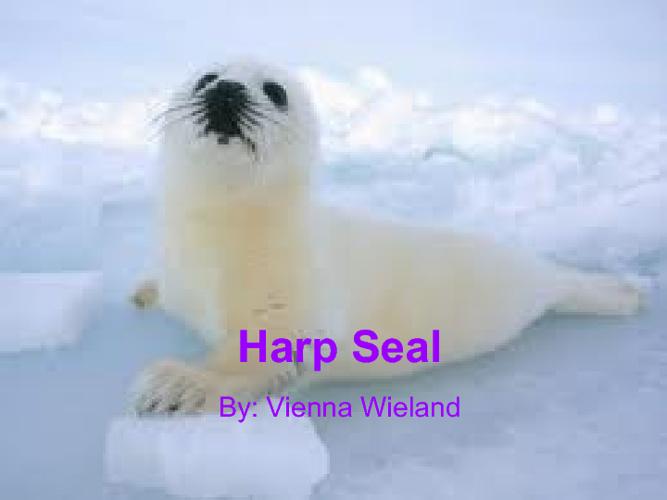 Cute Little Harp Seal