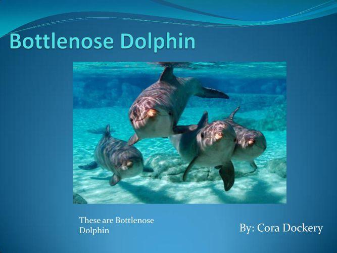 Bottlenose Dolphin-Cora Dockery