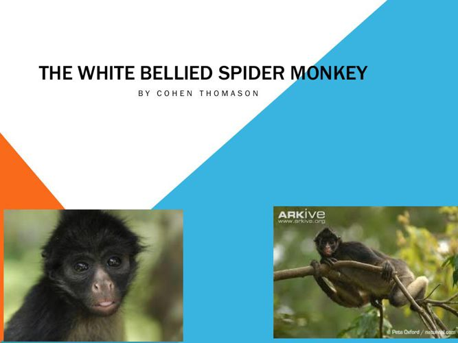 Spider Monkey-Cohen Thomason