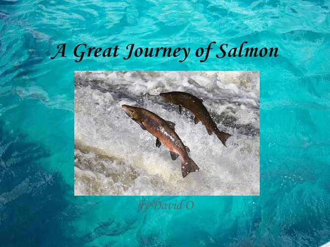 A great journey of salmon