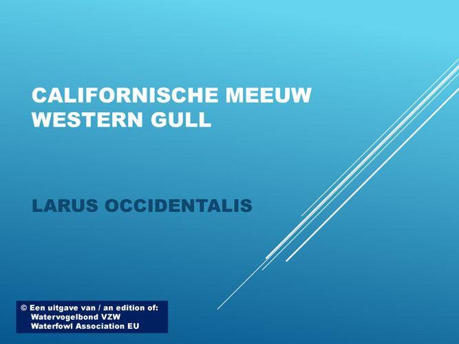 Californische meeuw - Wastern gull