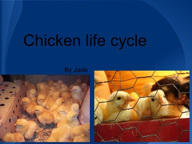 Jade's Chicken Life Cycle