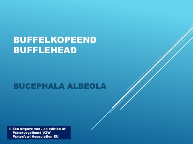 Buffelkopeend - Bufflehead