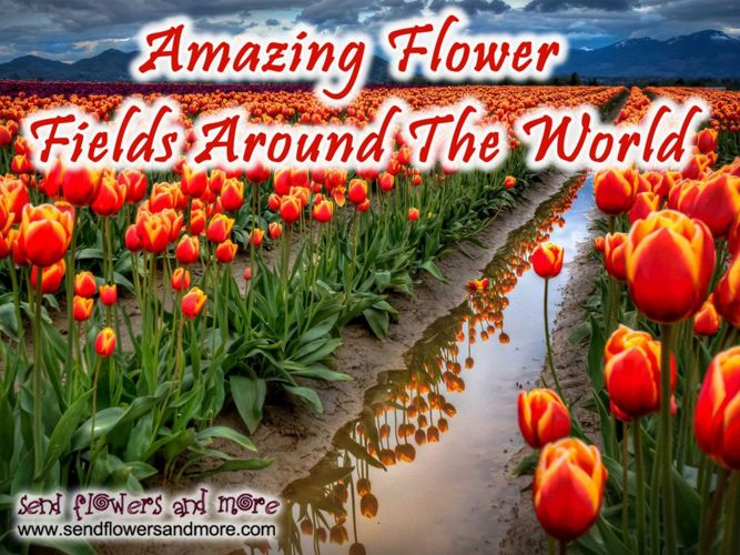 Amezing Flowers Fields in  the World