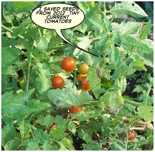 Tiny Current Tomatoes