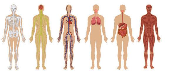 מערכות בגוף האדם