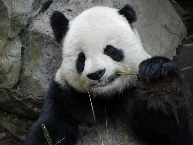 Day in the Life of a Panda