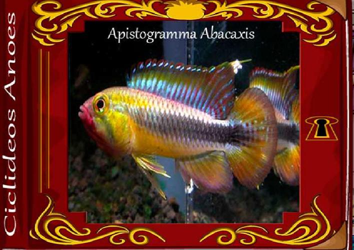 Apistogramma Abacaxis