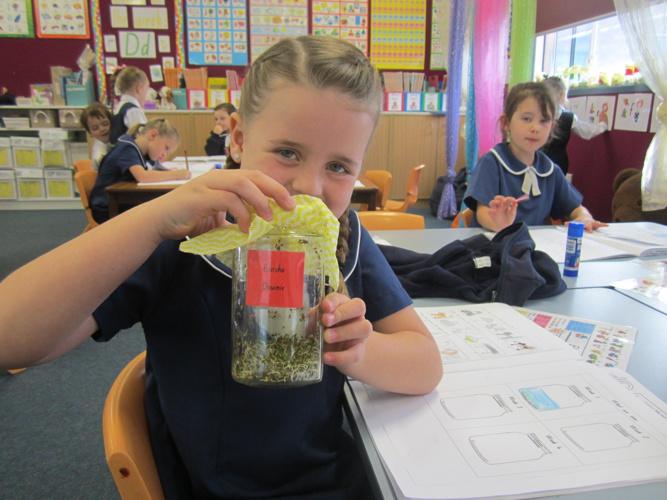 Growing Alfalfa - Koalas 2014