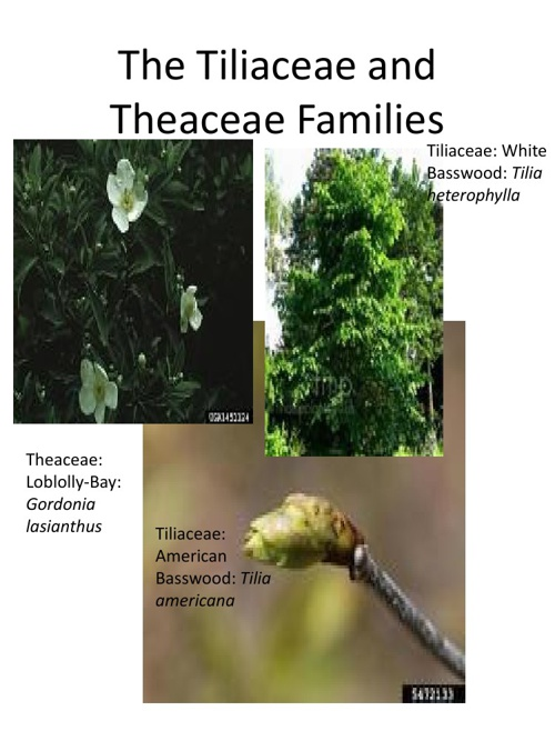 The Tiliaceae and Theaceae Families