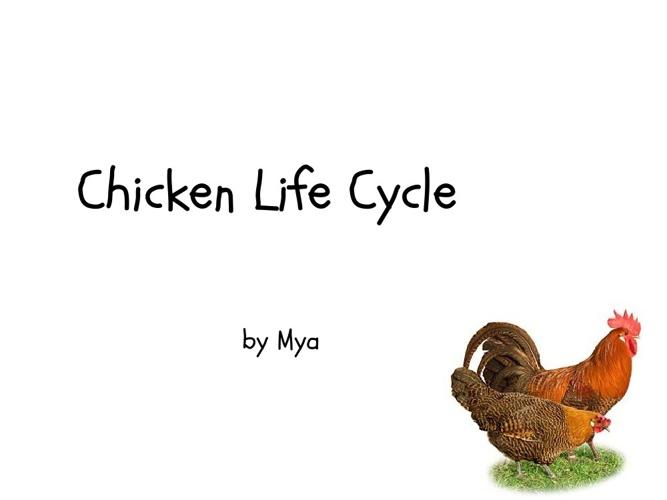 Mya's Chicken Life Cycle