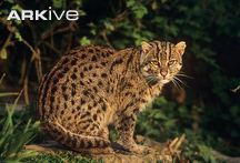 Female-fishing-cat