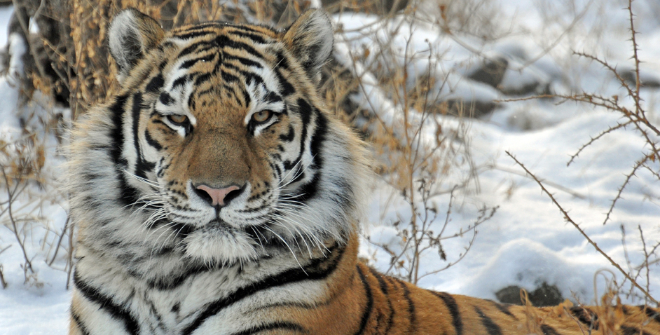 CMZoo-Tiger-942x463