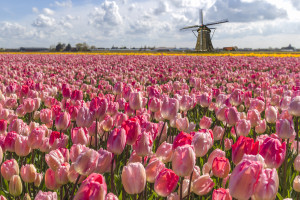 tulips amsterdam holland