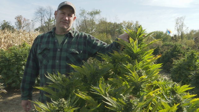 'This is still a high-risk crop': Farmers frustrated as hemp pilot program works through second year