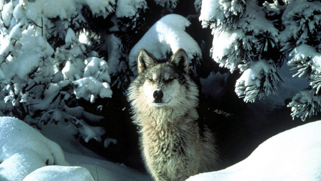 As wolves recover, calls in Wisconsin to end endangered species listing grow