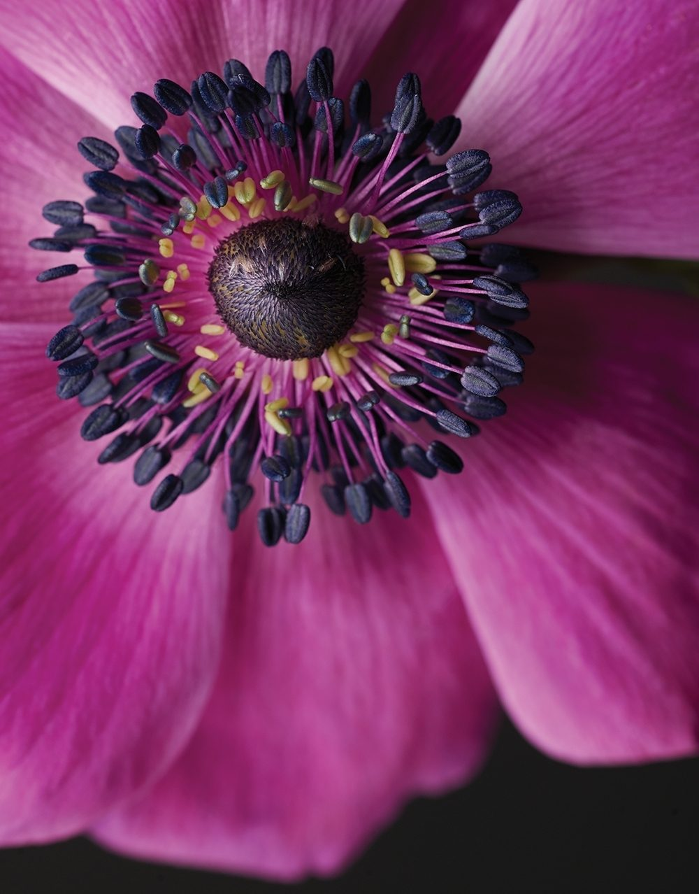 Closeup of a magenta poppy