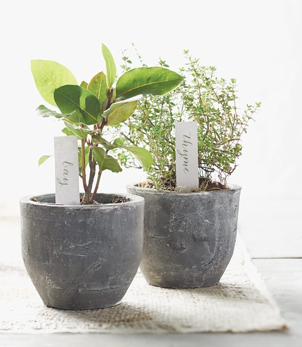 Pots of bay and thyme herbs