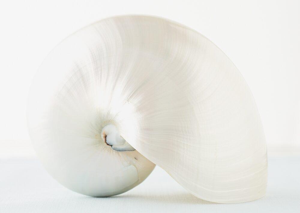 A pure white seashell
