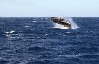 I was excited to capture this shot of a whale breaching while we were on our way to snorkle at Molokini crater!