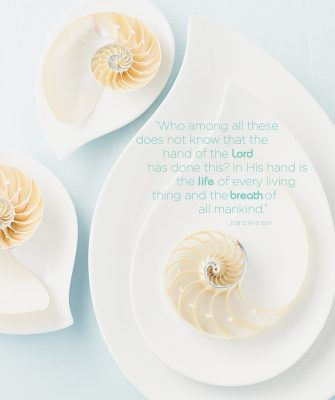An iridescent, mother of pearl surface develops on the area where the nautilus' body emerges from the shell. The jewel-like finish that shines brilliantly after buffing is due to the surface's high density of shallow grooves.