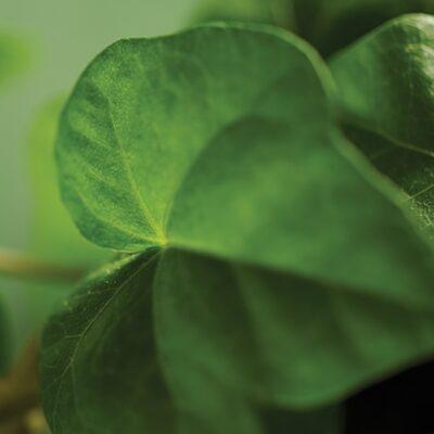 A bright green ivy leaf