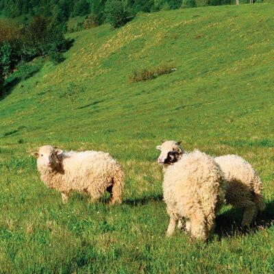 Sheep graze in a green field.