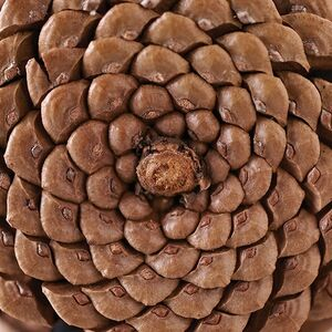 The unassuming pinecone found on the woodland floor seeds a new generation of trees. But greater than function is form, as it gives testament to the very nature and existence of God.