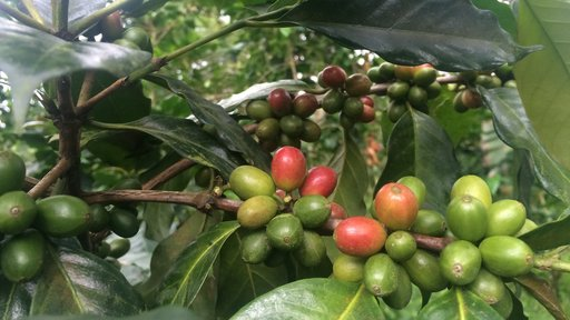 Ripening coffee cherries