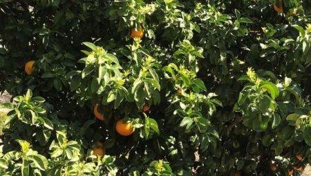 Fruiting orange trees