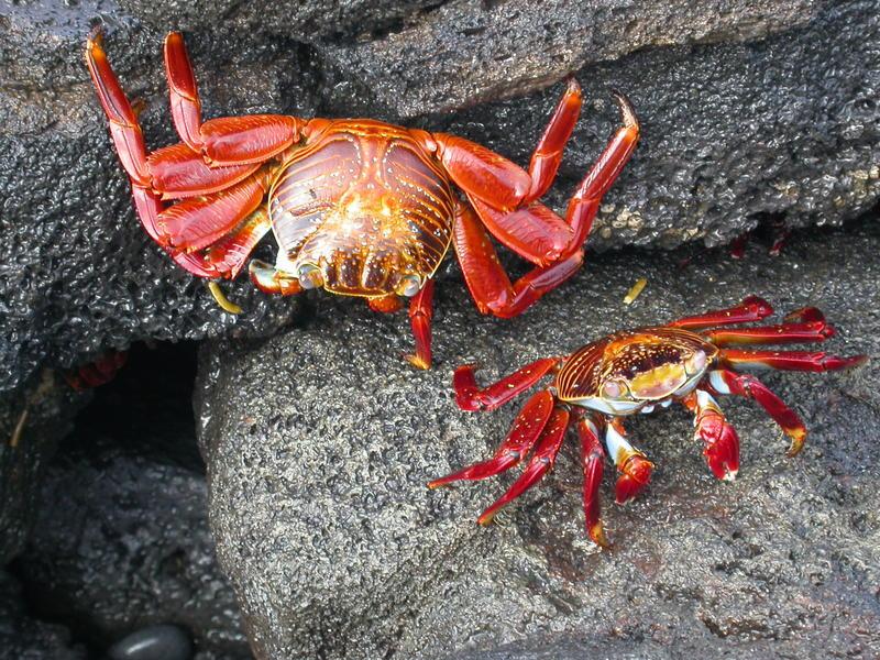Local crabs