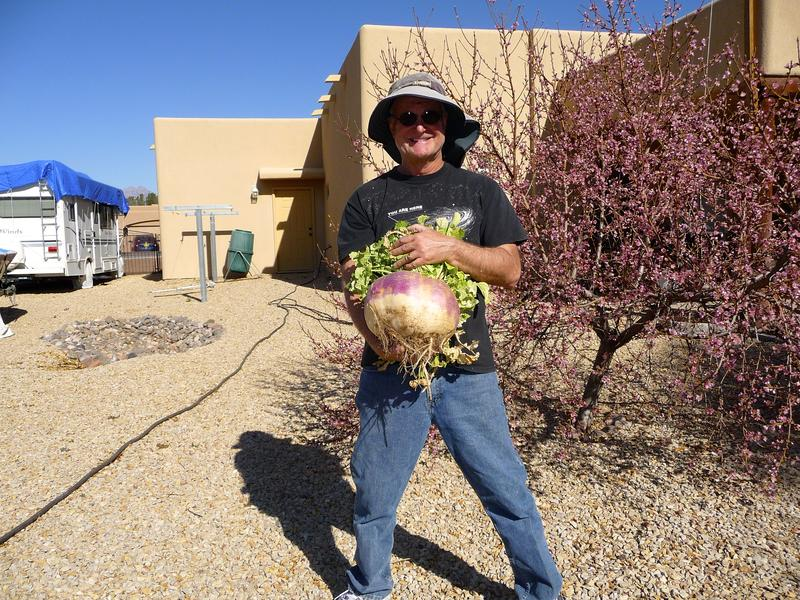 Turnip from backyard garden
