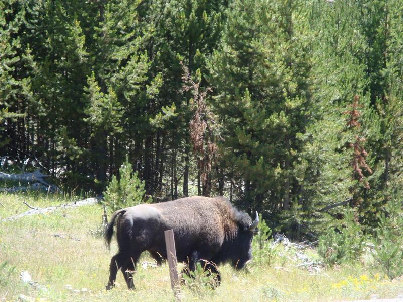 Idaho Buffalo