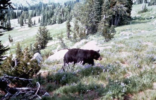 Idaho Blackbear