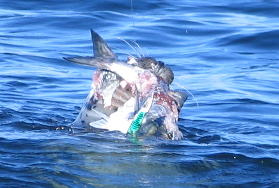 Seal with Bluefish