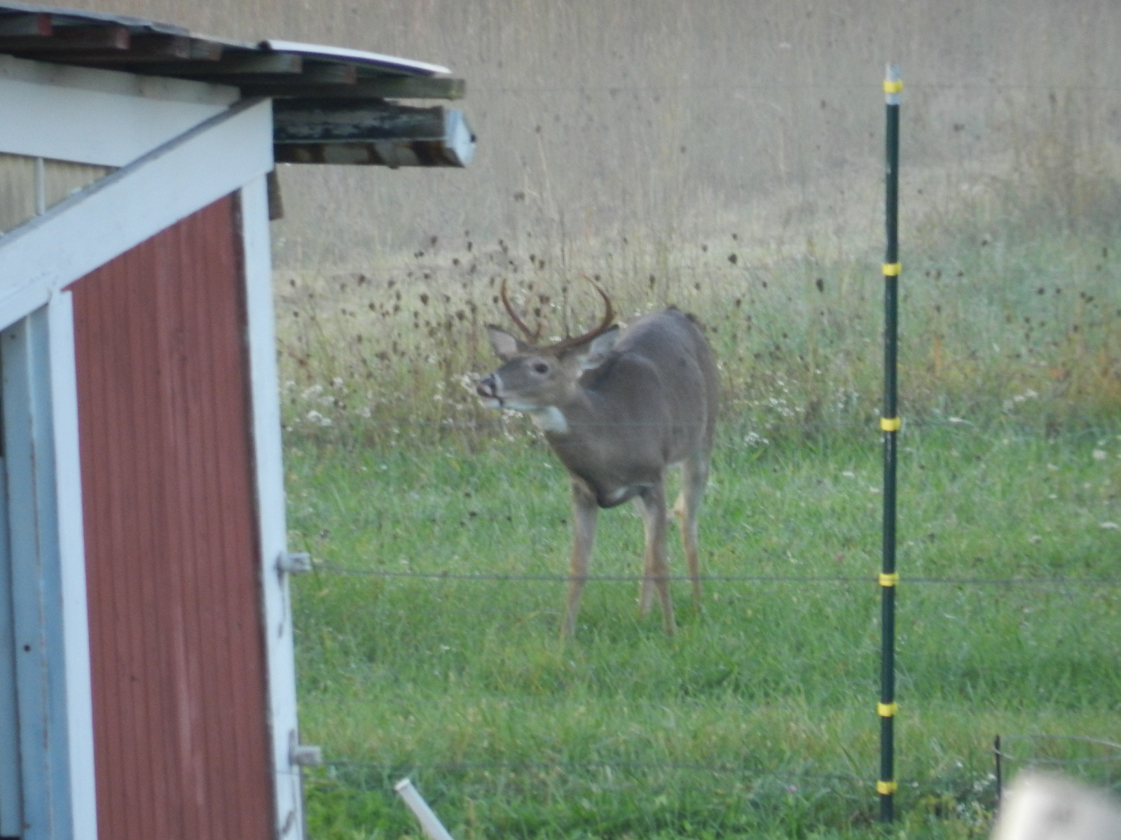 Deer out back at the barn