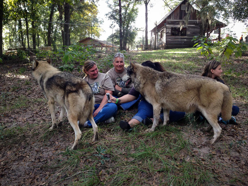 Wolf encounter at Seacrest Wolf Preserve.