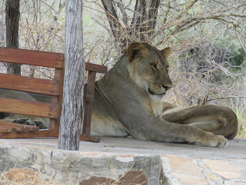 lion lounging in the afternoon