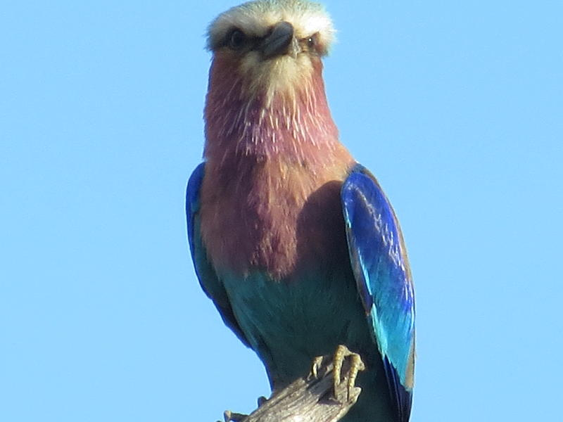 lavender breasted roller