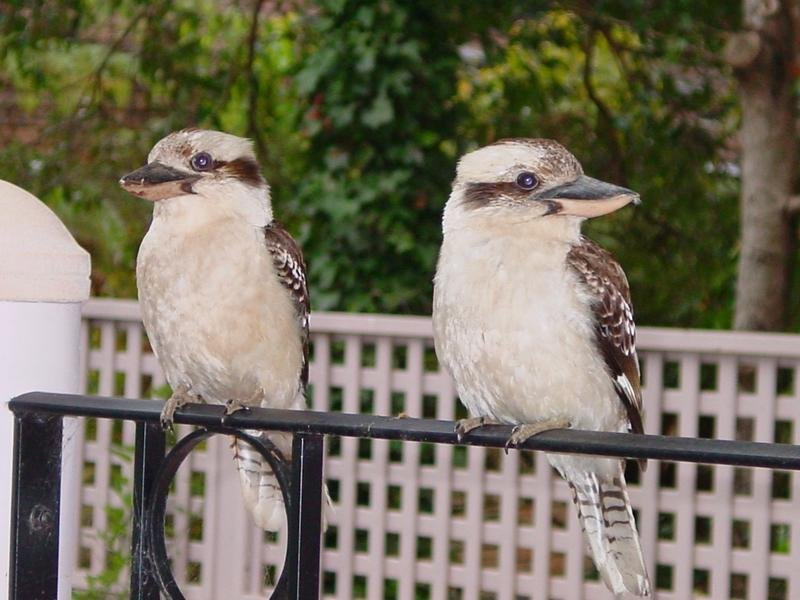 Kookaburras live in the bush behind our QTH. They often pay a visit - particularly when we are having a barbecue.