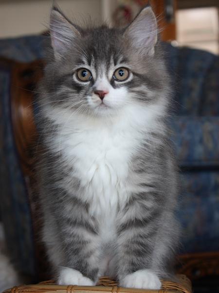 Siberian kitten Farley