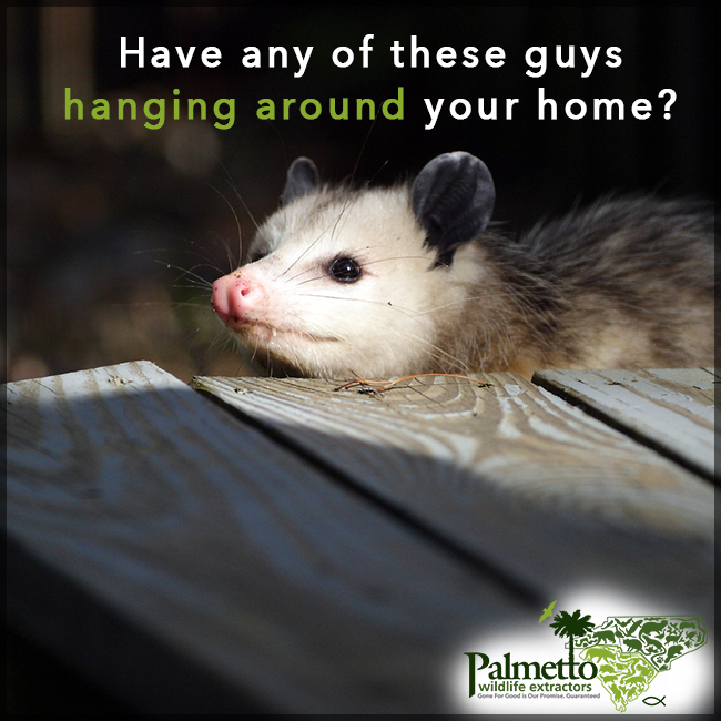 Opossums Can Be A Big Nuisance They Can Get In Your Attic And Disturb Ductwork Insulation And Wiring Effective Removal Is Essent Duct Work Wildlife Opossum