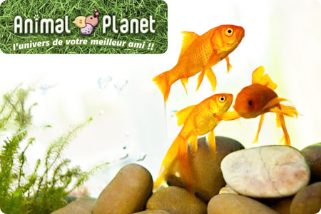 Vos enfants ne vont pas s 39 ennuyer avec ces 2 poissons for Alimentation des poissons rouges