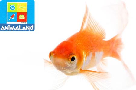 Vos enfants ne vont pas s 39 ennuyer avec ce poisson rouge for Plante bocal poisson rouge