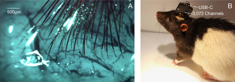 A la izquierda, los electrodos en forma de hilo en el cerebro de un animal son capaces de registrar neuronas. A la derecha, una rata usa un chip de computadora con un enchufe USB.