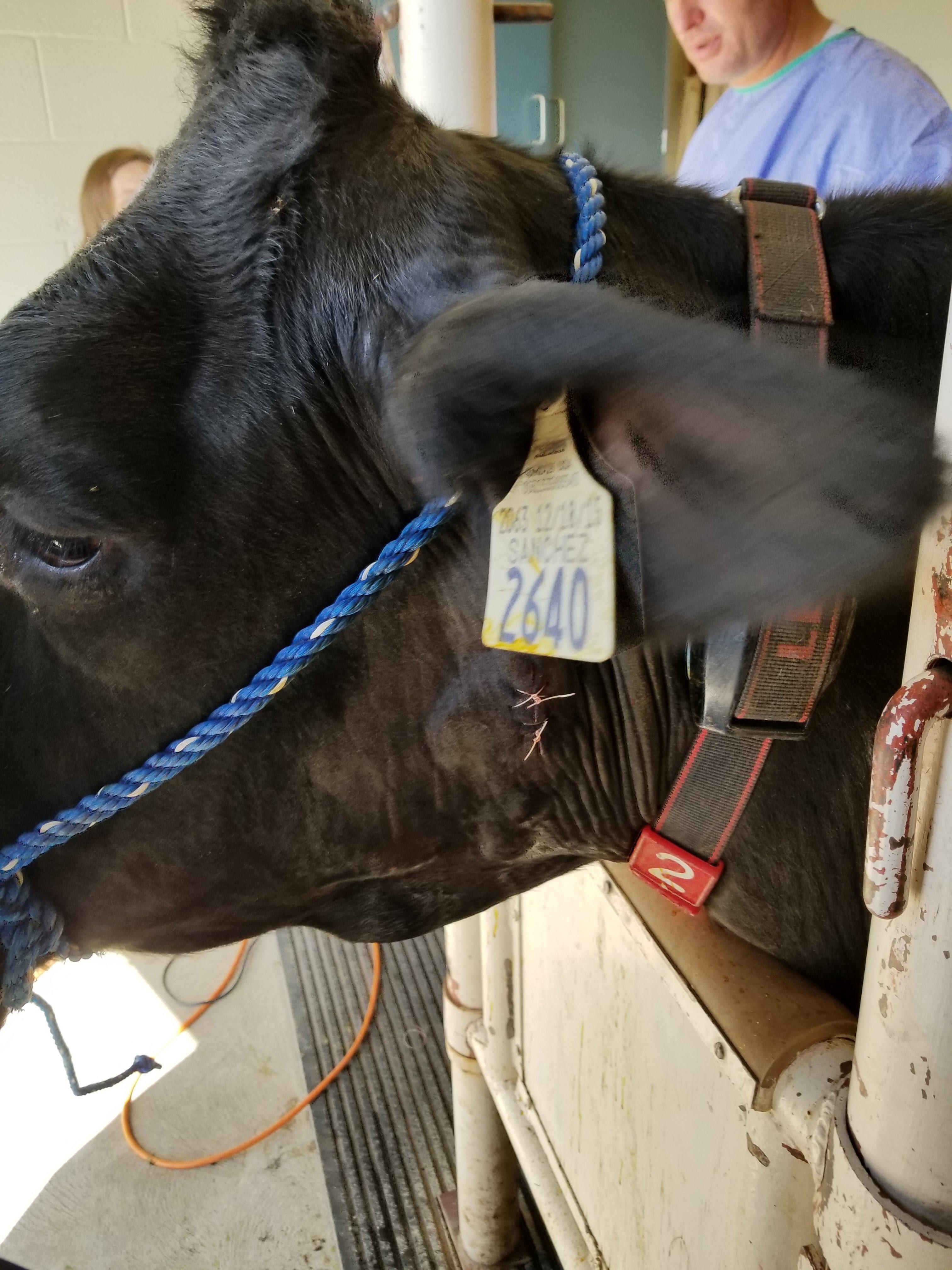 Una vaca en la Universidad Estatal de Utah